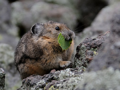 pika with food