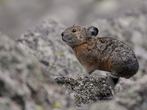 pika on rock