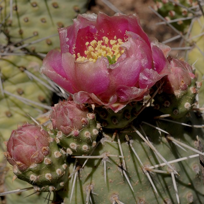 hedgehog prickly pear cactus