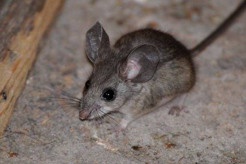 pinyon deermouse
