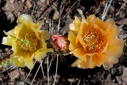 prickly pears 2