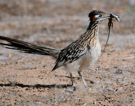 roadrunner with lizard