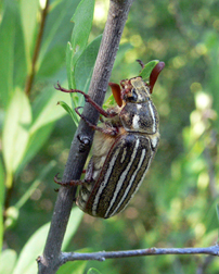 10 STRIPED JUNE BEETLE