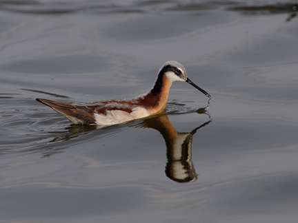 Wilson's Phalaropes