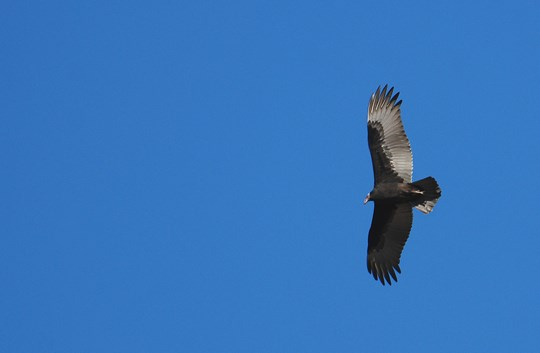 young turkey vulture in flight
