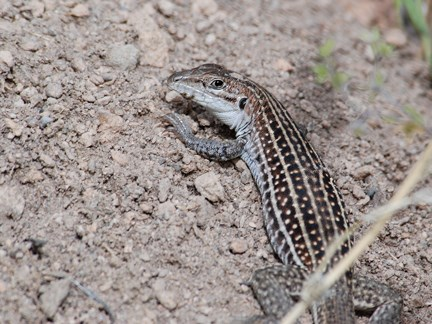 chihuahua whiptail
