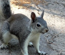 Abert's Squirrel in summer