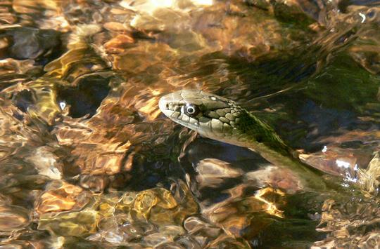 Garter snakes photos