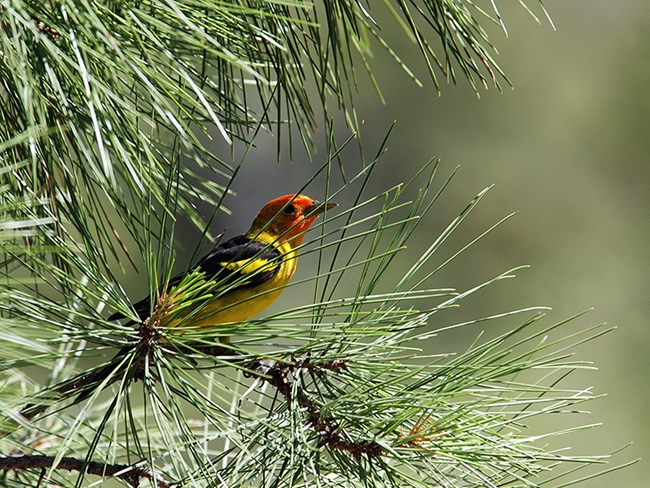 western tanager in pine