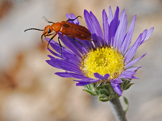 townsend aster with bug