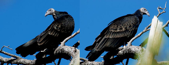 Young turkey vultures