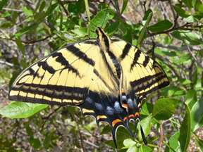 Two-tailed Tiger Swallowtail