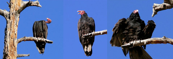 turkey vulture grooming