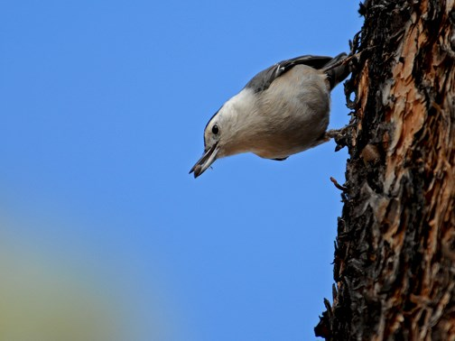 white breasted nuthatch 8