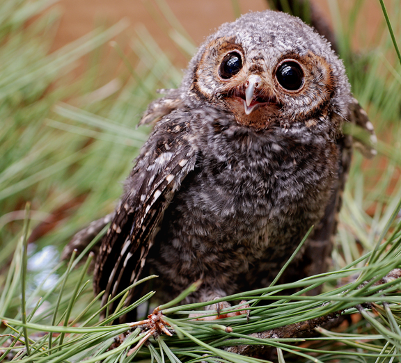 young flam owl