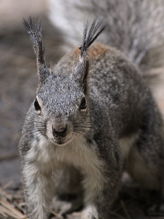 abert's squirrel portrait