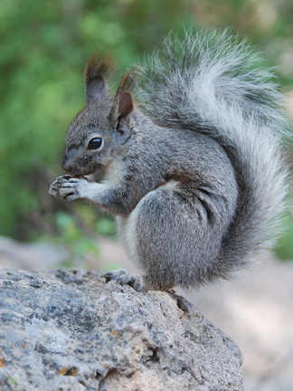 young Abert's squirrel