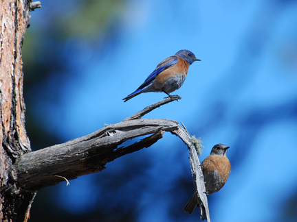 western bluebird couple