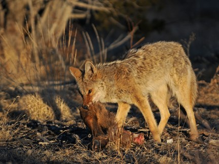 coyote with elk carcass