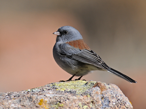 dark-eyed junco 2