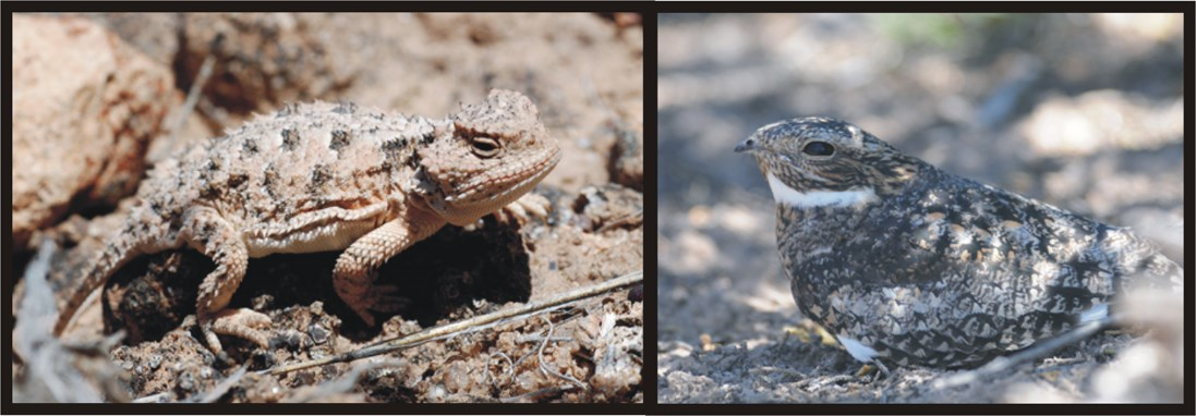 short horned lizard and common nighthawk