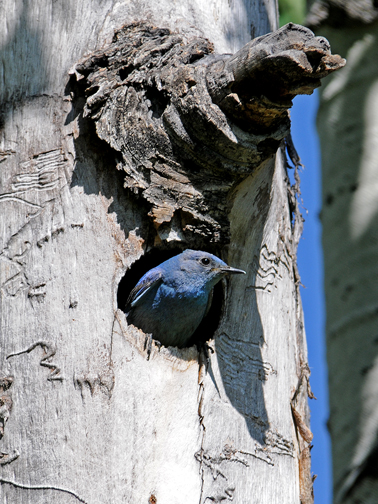Mountain Bluebird at nest