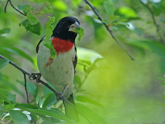 rose breasted grosbeak 2
