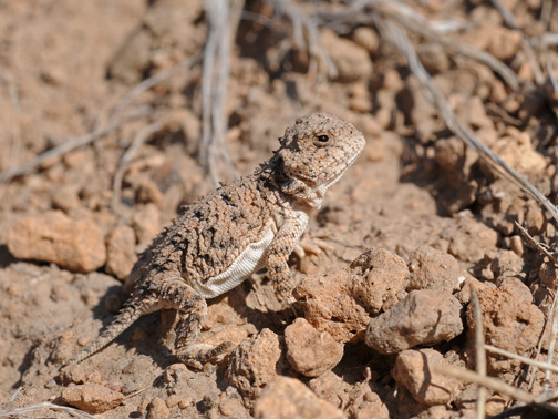 short horned lizard 2