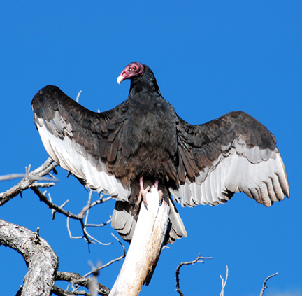 turkey vulture most popular birds