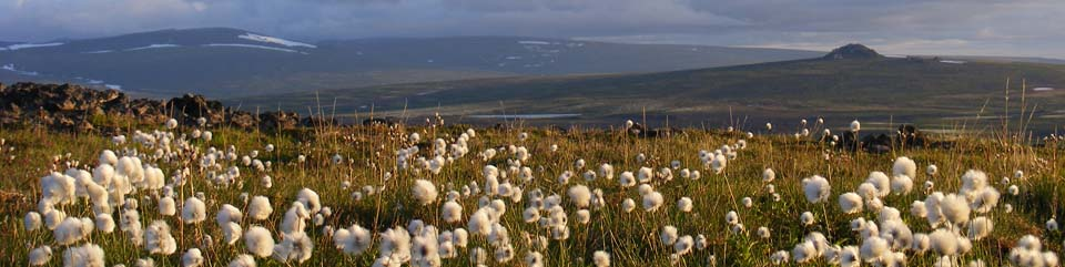 A field of cottongrass on an early summer morning