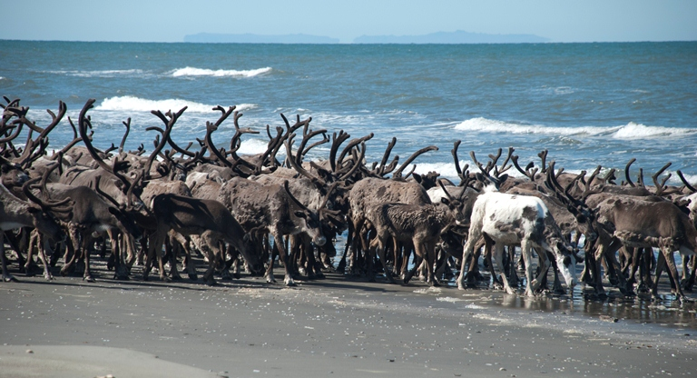A large herd of reindeer walking across a sunny beach, with the Diomede Islands visible faintly on the horizon