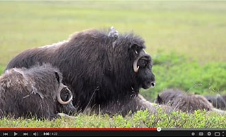 image from Muskox video on youtube