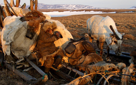 A traditional reindeer herder wearing a fur parka sits on a sled piled high with furs, next to a white reindeer on a brown tundra landscape