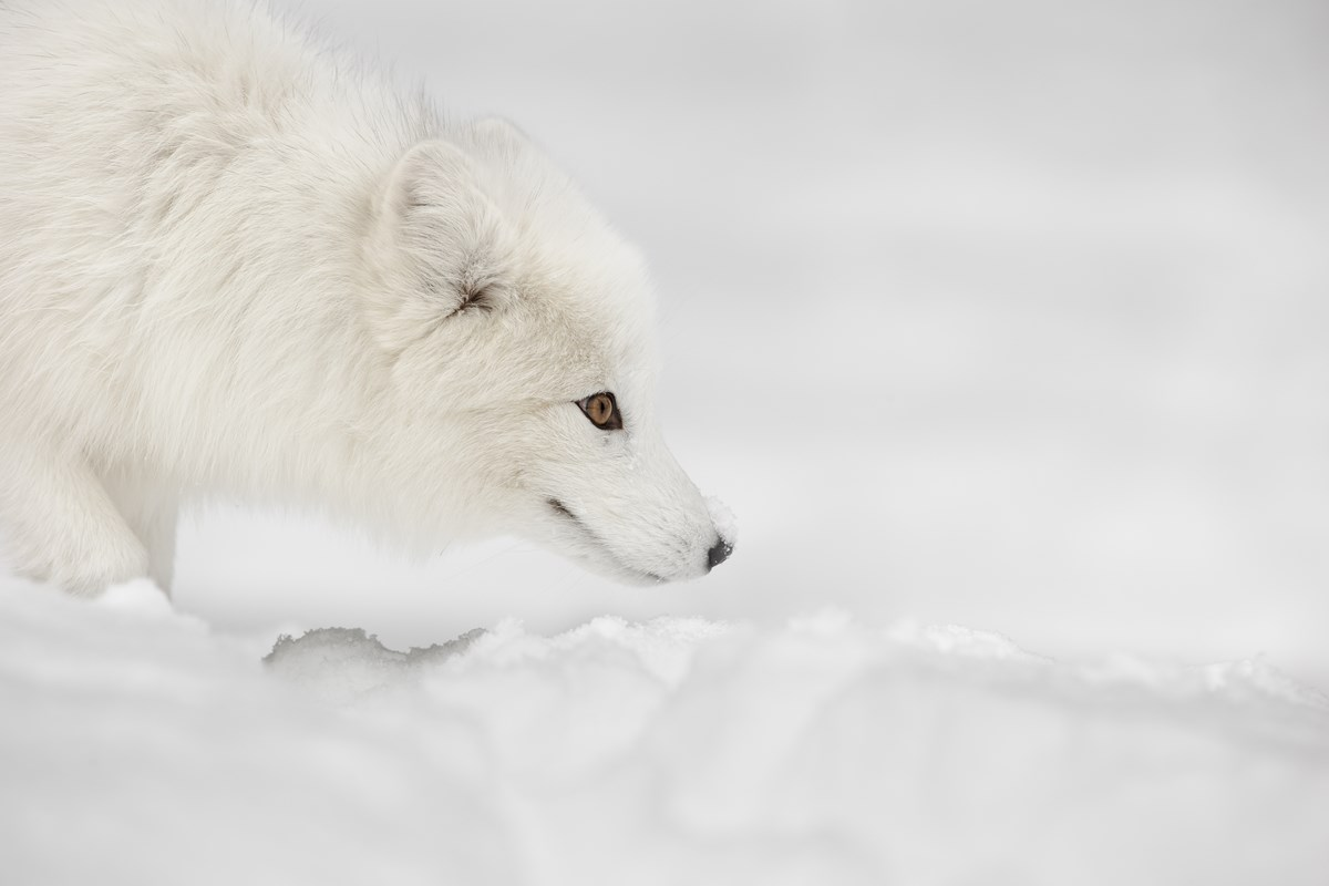 An arctic fox listens closely for small rodents that may be traveling beneath the snow.