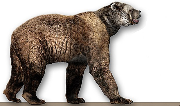 A color drawing of a giant short faced bear, the legs are long and the body is leaner than modern grizzly bears, it has a huge head and short jaw.