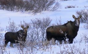 Two dark brown moose, one a cow the other a calf, standing in the snow looking back at the camera.