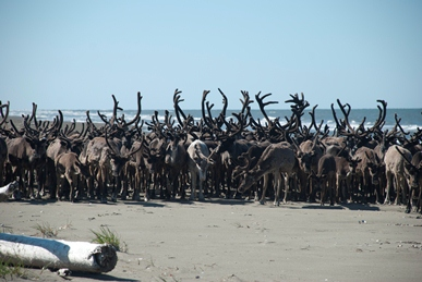 A large herd of reindeer stands on a sunny beach