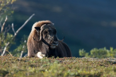 A muskox lays on the tundra in the sunset