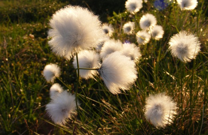 An up-close picture of a clump of cottongrass, backlit by golden sunlight