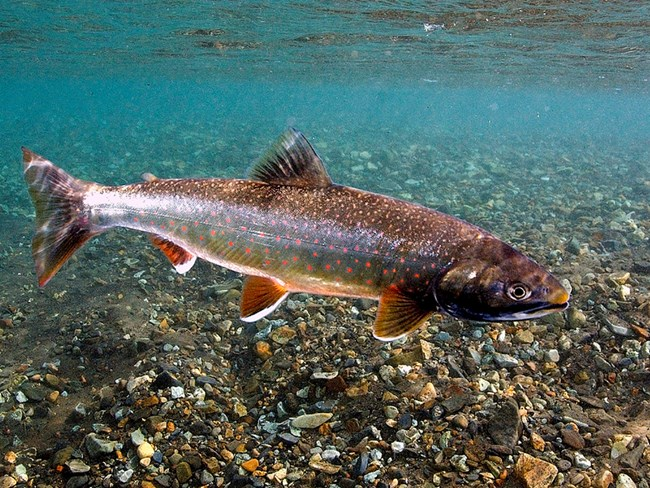 Dolly Varden in shallow waters
