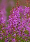 Common Fireweed