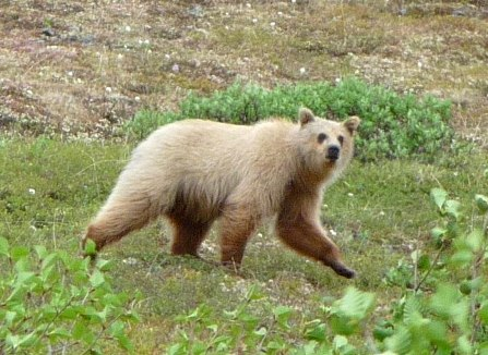 A large grizzly bear lumbers across the tundra