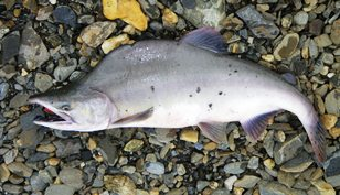 A spawning pink salmon that has been caught, laying on a rocky river bank