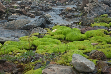 Vivid green moss growing in a rocky, shallow stream