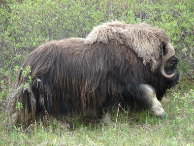 A large adult muskox lumbers through a patch of green willows