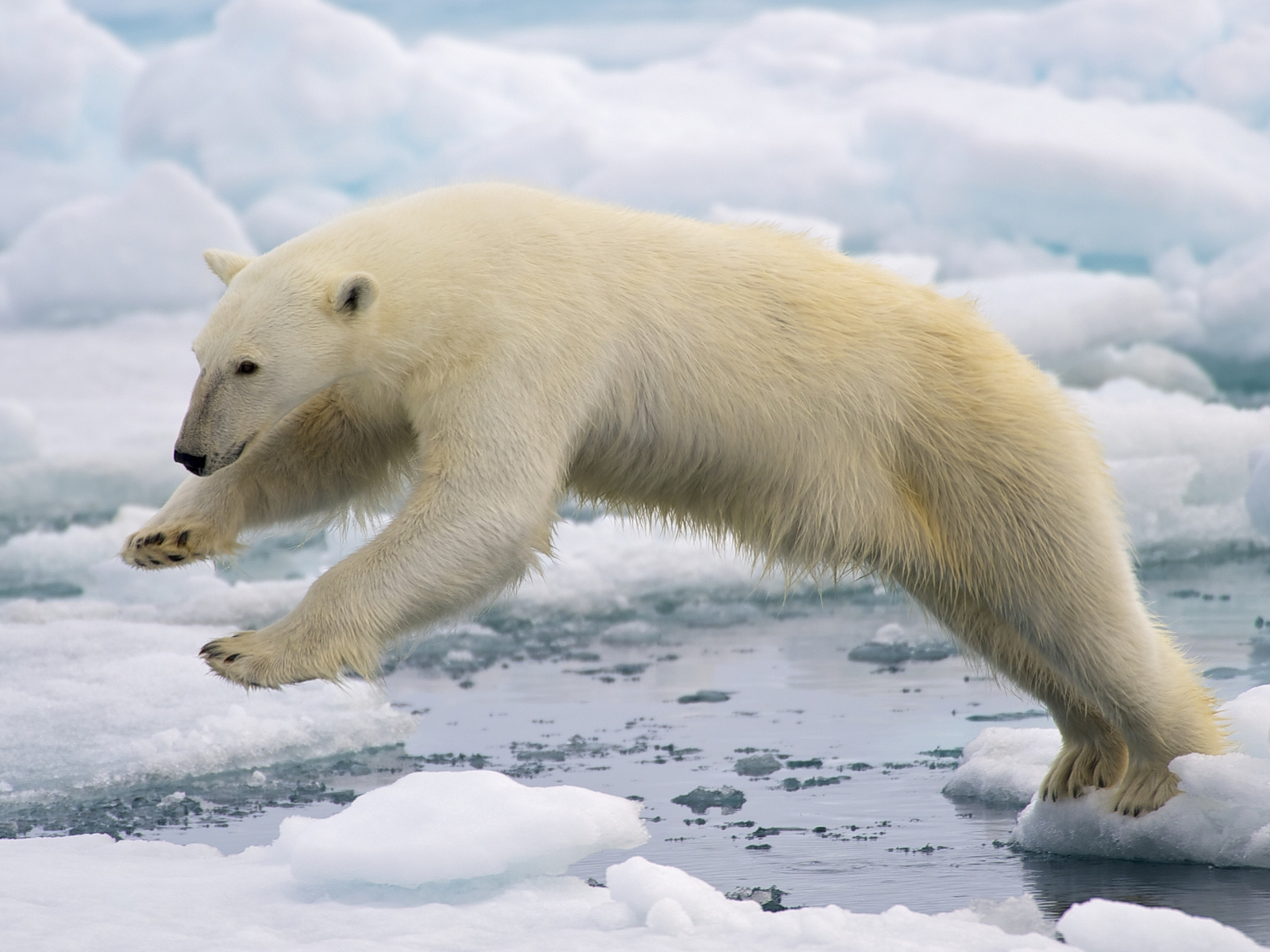 polar bear bering land bridge national preserve u s national