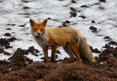 A red fox looks out from near its den on the late spring snow cover.