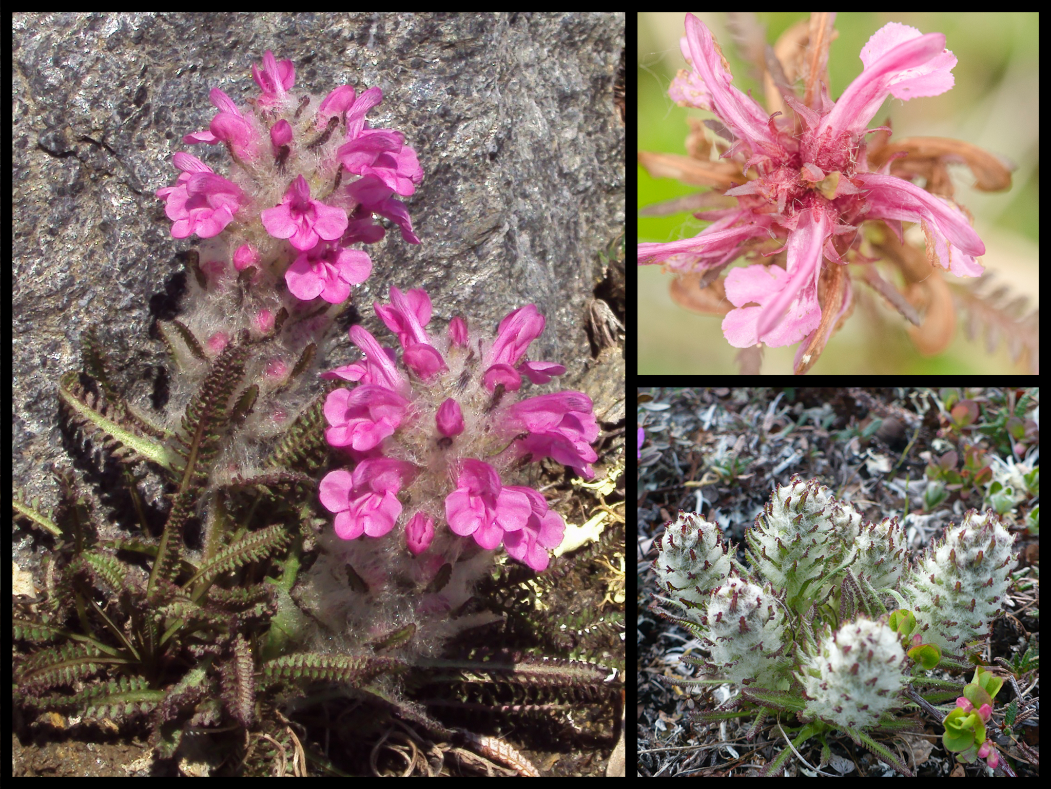 Wooly Lousewort in three stages of life
