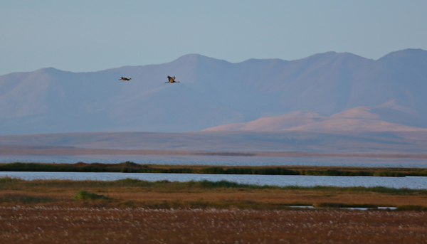 Two sandhill cranes fly across a background of pale mountains in sunset lighting
