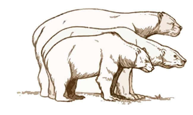 A brown line drawing of a Grizzly, Polar, Giant Short-Faced Bear
